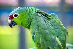 Μεγάλο πράσινο ambiguus Macaw Ara Στοκ εικόνες με δικαίωμα ελεύθερης χρήσης