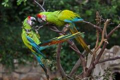 Μεγάλο πράσινο ambiguus Macaw Ara Στοκ Φωτογραφίες