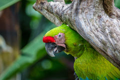 Μεγάλο πράσινο macaw σε ένα δέντρο Στοκ φωτογραφίες με δικαίωμα ελεύθερης χρήσης