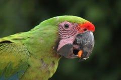 Μεγάλο πράσινο macaw (ambiguus Ara) Στοκ Εικόνα