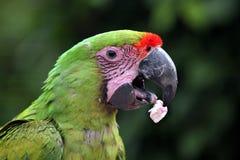 Μεγάλο πράσινο macaw (ambiguus Ara) Στοκ φωτογραφία με δικαίωμα ελεύθερης χρήσης