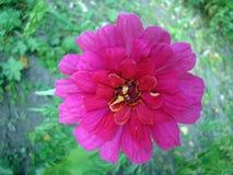 μεγάλο ροζ λουλουδιών Στοκ Εικόνα