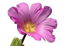 Μεγάλο ροζ στο ιώδες λουλούδι διακοσμητικά hibiscus που αυξάνονται στην Κροατία στο άσπρο υπόβαθρο Στοκ εικόνα με δικαίωμα ελεύθερης χρήσης