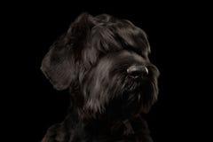Μεγάλο ρωσικό μαύρο σκυλί τεριέ κινηματογραφήσεων σε πρώτο πλάνο που φαίνεται κεκλεισμένων των θυρών, απομονωμένος Στοκ φωτογραφία με δικαίωμα ελεύθερης χρήσης