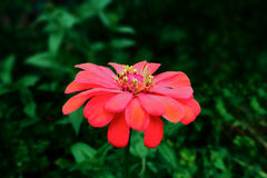 Μεγάλο ρόδινο λουλούδι Στοκ εικόνα με δικαίωμα ελεύθερης χρήσης