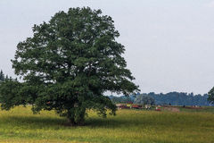 Μεγάλο δρύινο δέντρο στη μέση του τομέα Στοκ εικόνες με δικαίωμα ελεύθερης χρήσης