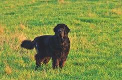 Μεγάλο σκυλί σε μια πράσινη χλόη βραδιού Στοκ εικόνες με δικαίωμα ελεύθερης χρήσης