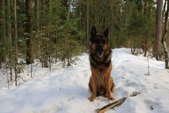 Μεγάλο σκυλί στο δάσος Στοκ Εικόνες
