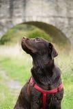 Μεγάλο σκυλί στο λουρί στοκ φωτογραφία με δικαίωμα ελεύθερης χρήσης