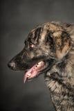 Μεγάλο σκυλί στο στούντιο Στοκ Εικόνες