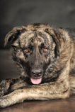 Μεγάλο σκυλί στο στούντιο Στοκ φωτογραφία με δικαίωμα ελεύθερης χρήσης