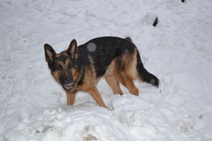 Μεγάλο σκυλί στο χιόνι Στοκ Εικόνες