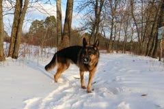 Μεγάλο σκυλί στο χιόνι Στοκ εικόνα με δικαίωμα ελεύθερης χρήσης