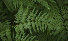 Μεγάλο σύνθετο πράσινο φύλλο σε έναν κλάδο Στοκ εικόνα με δικαίωμα ελεύθερης χρήσης