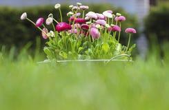 Μεγάλο σύνολο κάδων του ροζ, του κοκκίνου και του λευκού μαργαριτών Στοκ φωτογραφία με δικαίωμα ελεύθερης χρήσης