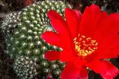 Μεγάλο τολμηρό δραματικό κόκκινο λουλούδι κάκτων Στοκ φωτογραφίες με δικαίωμα ελεύθερης χρήσης