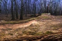 Μεγάλο τυλιγμένο βρύο δέντρο που βρίσκεται, αποβαλλόμενο δάσος Στοκ Εικόνες