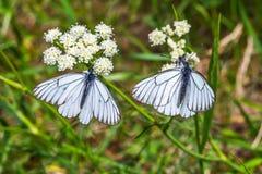 Μεγάλο φθορισμού aporia Crataegi πεταλούδων lat Aporia crataeg Στοκ φωτογραφία με δικαίωμα ελεύθερης χρήσης