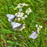 Μεγάλο φθορισμού aporia Crataegi πεταλούδων lat Aporia crataeg Στοκ Φωτογραφία
