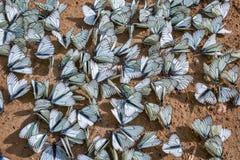 Μεγάλο φθορισμού aporia Crataegi πεταλούδων lat Aporia crataeg Στοκ Εικόνες
