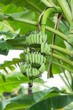 μεγάλο φωτεινό στενό πράσινο δέντρο φύλλων μπανανών επάνω στοκ εικόνα