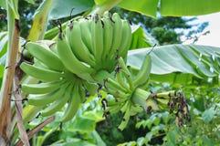 μεγάλο φωτεινό στενό πράσινο δέντρο φύλλων μπανανών επάνω Στοκ εικόνα με δικαίωμα ελεύθερης χρήσης