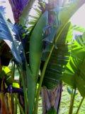 μεγάλο φωτεινό στενό πράσινο δέντρο φύλλων μπανανών επάνω Στοκ Φωτογραφίες
