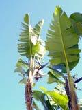 μεγάλο φωτεινό στενό πράσινο δέντρο φύλλων μπανανών επάνω Στοκ εικόνες με δικαίωμα ελεύθερης χρήσης