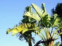 μεγάλο φωτεινό στενό πράσινο δέντρο φύλλων μπανανών επάνω Στοκ Φωτογραφία