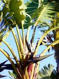 μεγάλο φωτεινό στενό πράσινο δέντρο φύλλων μπανανών επάνω Στοκ φωτογραφίες με δικαίωμα ελεύθερης χρήσης