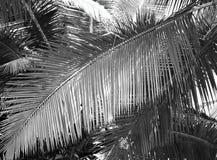 Μεγάλο φύλλο φοινικών - αφηρημένο υπόβαθρο στην γκρίζα κλίμακα Στοκ Φωτογραφίες