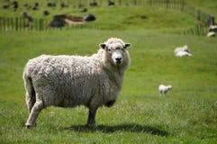 Μεγάλο χνουδωτό πρόβατα κατά τη βοσκή ή αρνί τους πράσινους τομείς Στοκ Εικόνα
