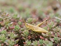 Μεγάλο χρυσό grasshopper (Chrysochraon dispar) Στοκ εικόνες με δικαίωμα ελεύθερης χρήσης
