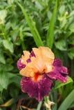Μεγάλο όμορφο λουλούδι ίριδων Στοκ Εικόνα