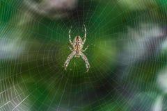 Μεγάλο araneus κήπος-αραχνών στο κέντρο του Ιστού Ιστός αράχνης με την αράχνη Στοκ εικόνα με δικαίωμα ελεύθερης χρήσης