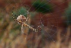 Μεγάλο argentata argiope πίσω από τον ιστό αράχνης Στοκ Φωτογραφίες