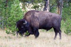 Μεγάλο Buffalo που τρίβει το κεφάλι ενάντια στο μικρό δέντρο πεύκων στοκ εικόνες με δικαίωμα ελεύθερης χρήσης