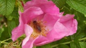 Μεγάλο bumblebee στο λουλούδι απόθεμα βίντεο