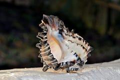 Μεγάλο conch Στοκ Εικόνες