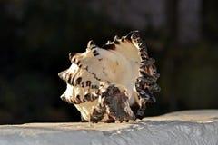 Μεγάλο conch Στοκ Φωτογραφίες