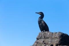 Μεγάλο cormorant& x28 Phalacrocorax carbo& x29  Στοκ εικόνες με δικαίωμα ελεύθερης χρήσης
