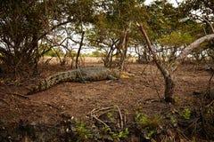 Μεγάλο Croc Στοκ φωτογραφίες με δικαίωμα ελεύθερης χρήσης