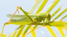 Μεγάλο grasshopper, που τρώει τη χλόη στοκ φωτογραφία με δικαίωμα ελεύθερης χρήσης