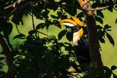 Μεγάλο hornbill που σκαρφαλώνει στον κλάδο στοκ φωτογραφία