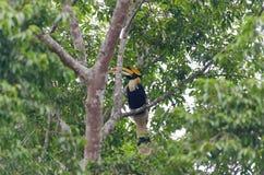 μεγάλο hornbill Στοκ φωτογραφία με δικαίωμα ελεύθερης χρήσης