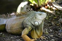 Μεγάλο Iguana Στοκ Εικόνα