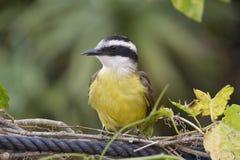 Μεγάλο kiskadee, πουλί κοινό σε όλη την Αμερική Στοκ Εικόνες