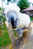 Μεγάλο macaw που φαίνεται κεκλεισμένων των θυρών στοκ εικόνες