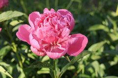 Μεγάλο peony λουλούδι Στοκ φωτογραφία με δικαίωμα ελεύθερης χρήσης