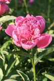 Μεγάλο peony λουλούδι Στοκ φωτογραφίες με δικαίωμα ελεύθερης χρήσης